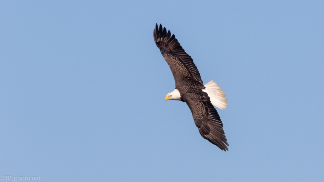 Bald Eagle Searching Over A Marsh - click to enlarge