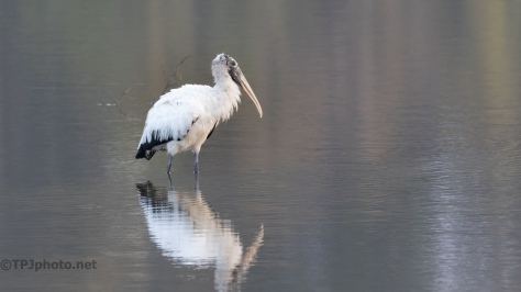 A Morning Wood Stork - click to enlarge