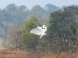 Egret, Landing With Style - click to enlarge