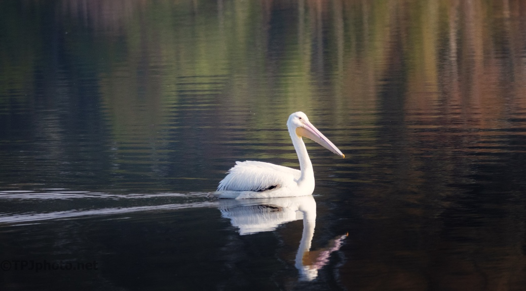 White Pelican Moves By - click to enlarge