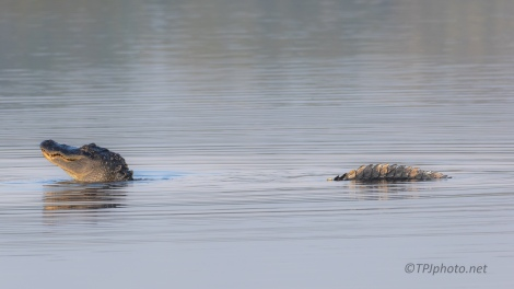 Perfect Timing, Alligator Series - click to enlarge