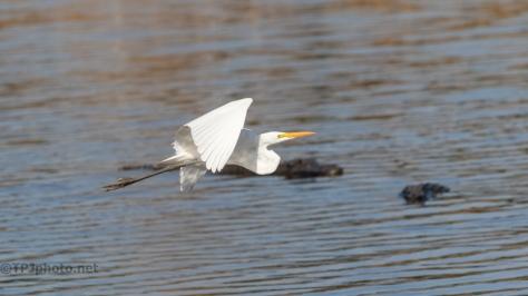 Don't Stop Now, Egret, Alligator - click to enlarge