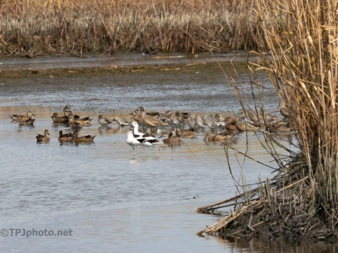 A Marsh Gathering - click to enlarge