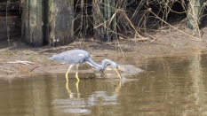 Tricolored Heron, Tiny Fish
