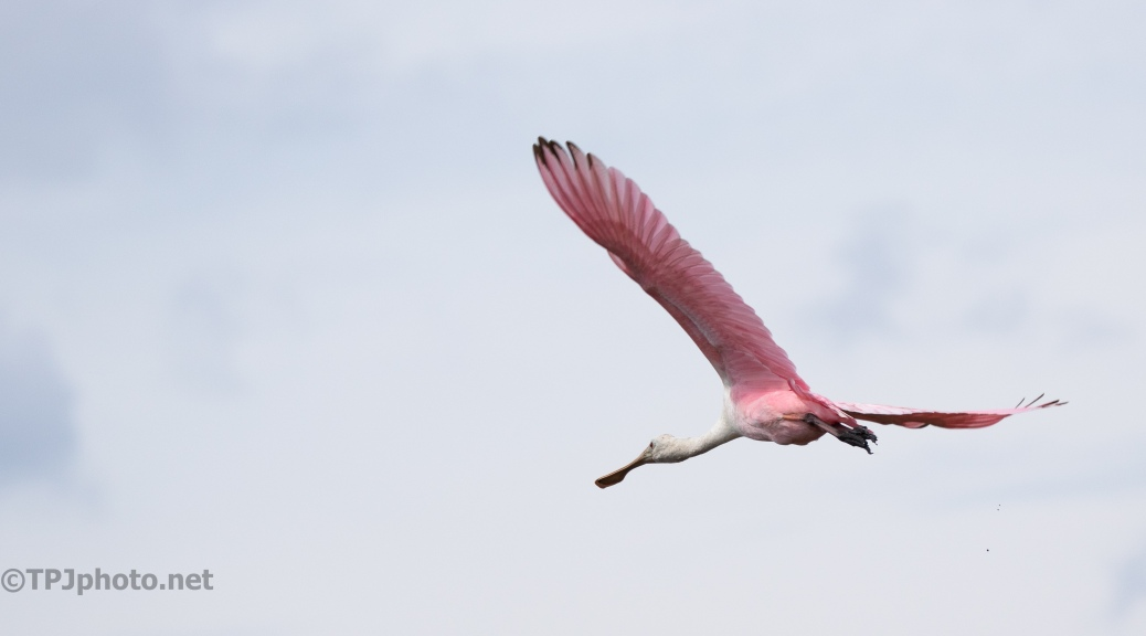 Quick Spoonbill Fly By - click to enlarge