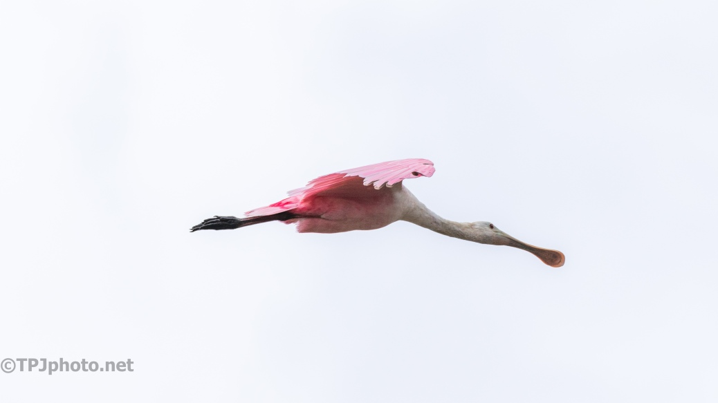 Almost Got Past, Spoonbill - click to enlarge