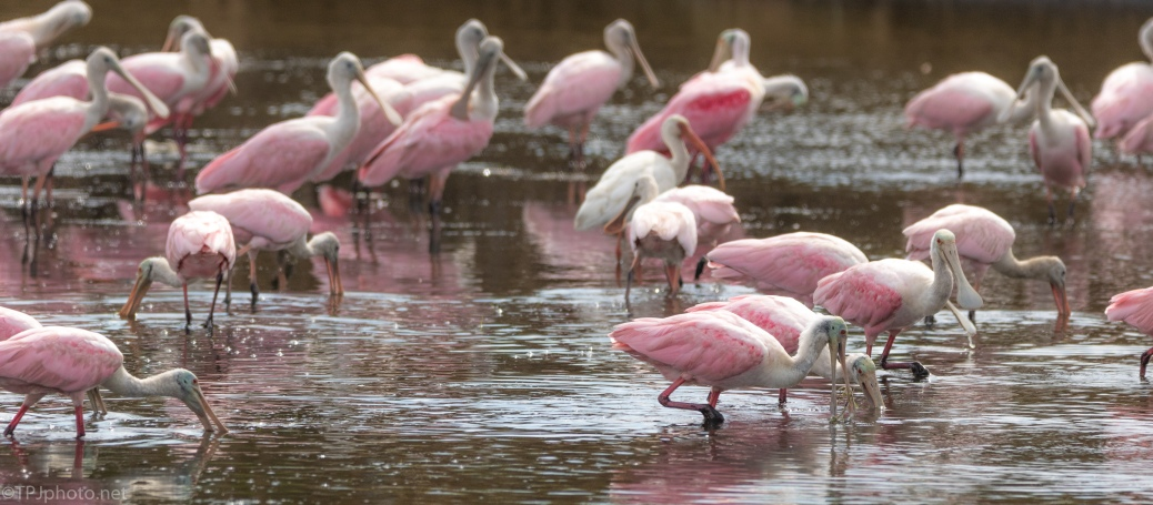 Spoonbills, Wide Image - click to enlarge