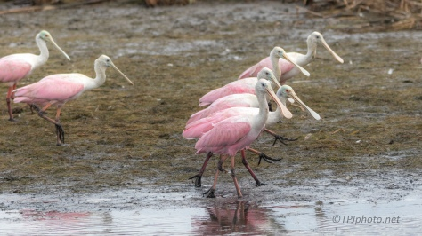 Walking With Spoonbills - Click to enlarge