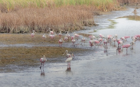 Spoonbills In A Dry Marsh Canal
