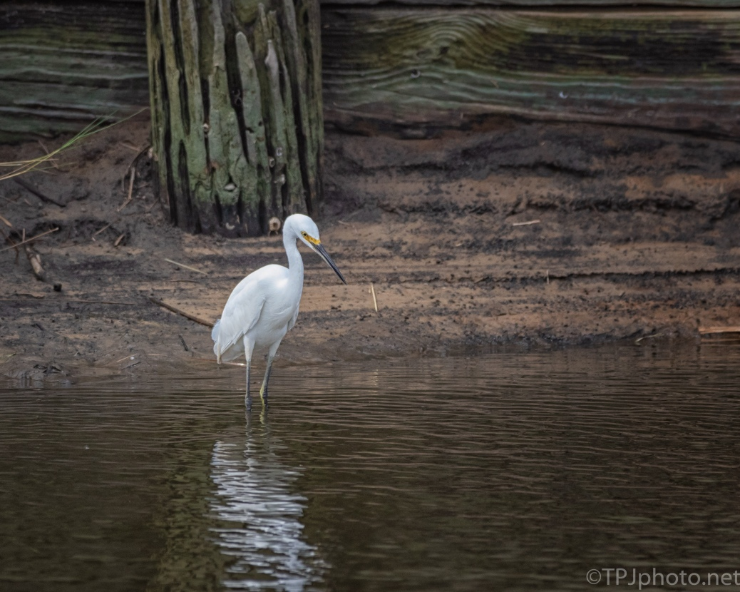 Snowy Egret, Fishing - click to enlarge