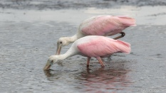 Spoonbill Fishing, Sifting For Food