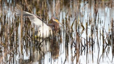 Hiding Tricolored Herons