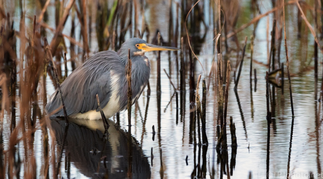 Tricolored Heron In Fall Reeds - click to enlarge