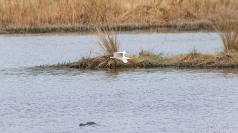A Wide Shot On A Marsh, Alligator And Egret - click to enlarge