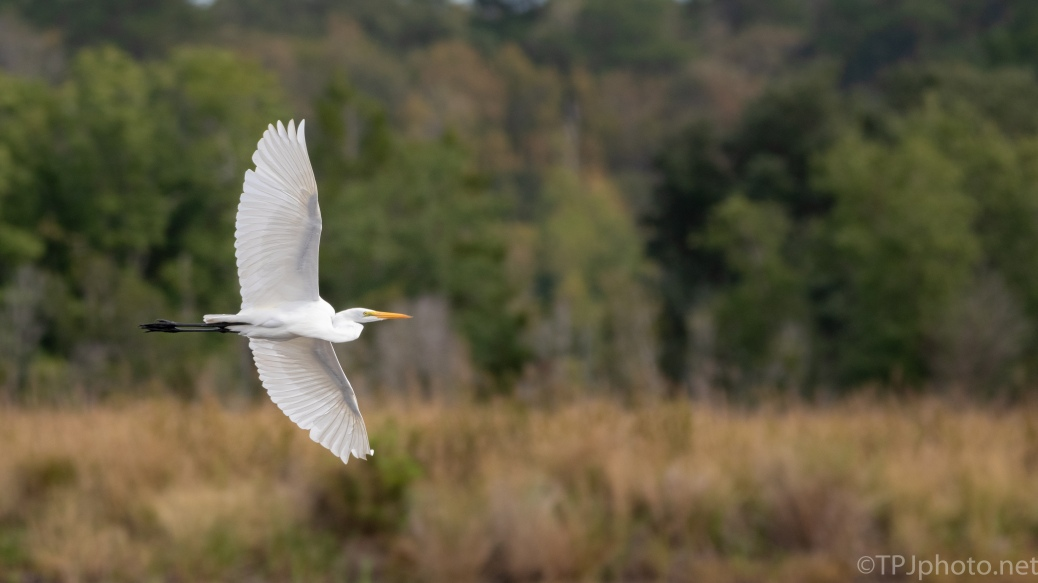 Great Egret, Low Over Old Rice Fields - click to enlarge