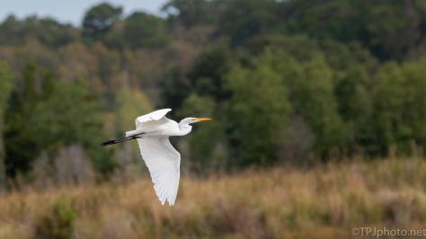 Great Egret,Low Over Old Rice Fields - click to enlarge