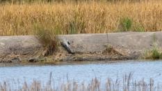 A Series Of Alligators Around A Marsh