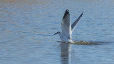 Tern Working The Marsh - click to enlarge