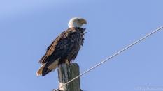 Bald Eagle, Back At The Pole
