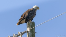Bald Eagle, Back At The Pole