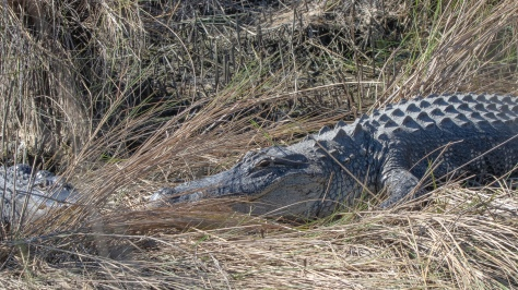 A Day Of Alligators (3) - click to enlarge