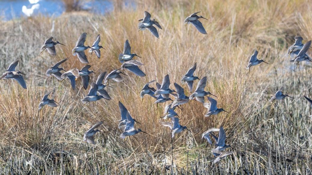 Hidden Flocks Of Shorebirds