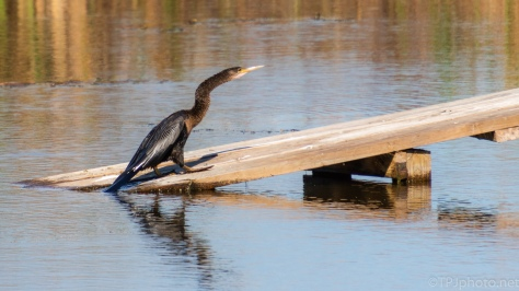 Anhinga Ready To Dry - click to enlarge