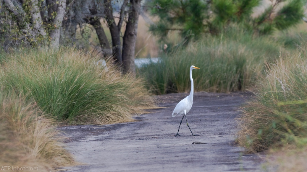Heading The Same Direction, Egret - click to enlarge