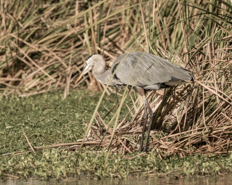 Great Blue Almost Invisible - click to enlarge