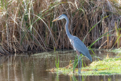 Waiting Patiently In The Reeds, Heron
