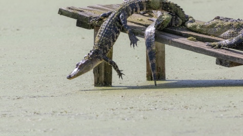 Quick Getaway, Alligator - click to enlarge