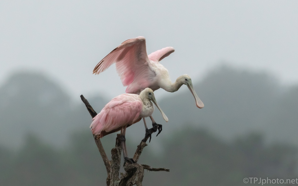 Roseate Spoonbills Sharing The Top - click to enlarge