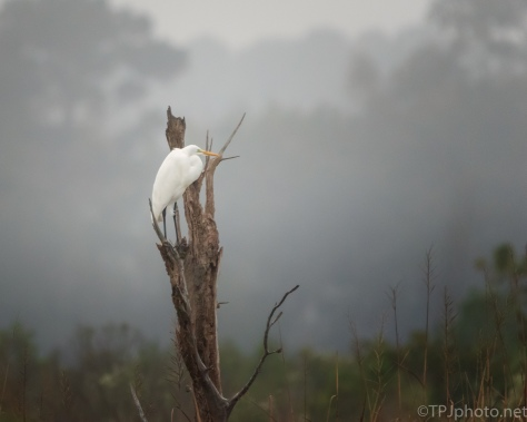 Foggy And Wet, Egret - click to enlarge