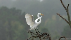 The Perfect Landing, Great Egret