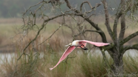 Roseate Spoonbill, Leaving A Marsh - click to enlarge