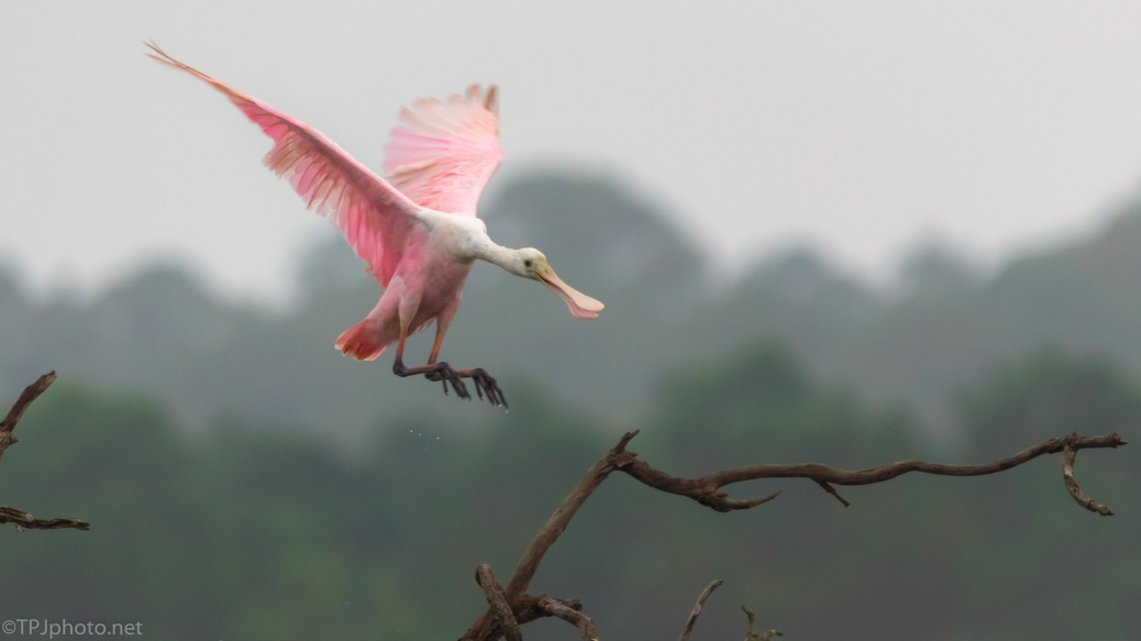 A Better landing Than Some, Spoonbill - click to enlarge