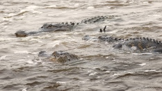 Collision Course, Alligators
