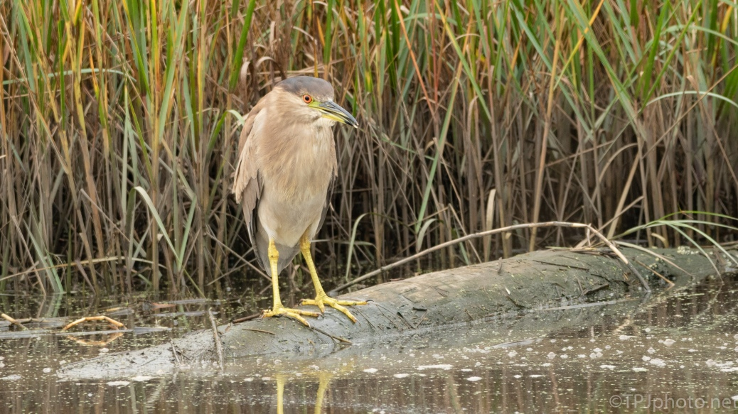 Juvenile Heron - click to enlarge