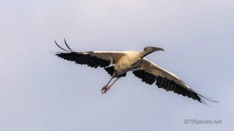 Over Head Wood Stork - click to enlarge