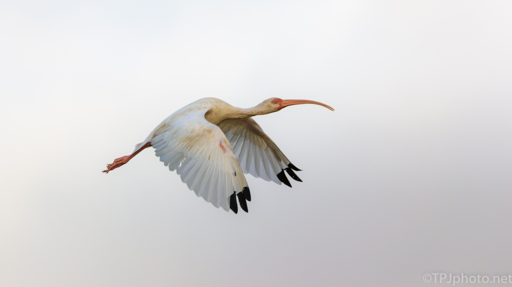White Ibis Caught With The Right Background - click to enlarge