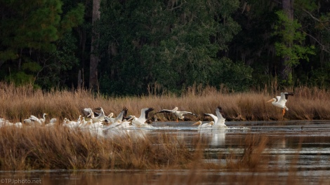 The Pelicans Have Arrived - click to enlarge