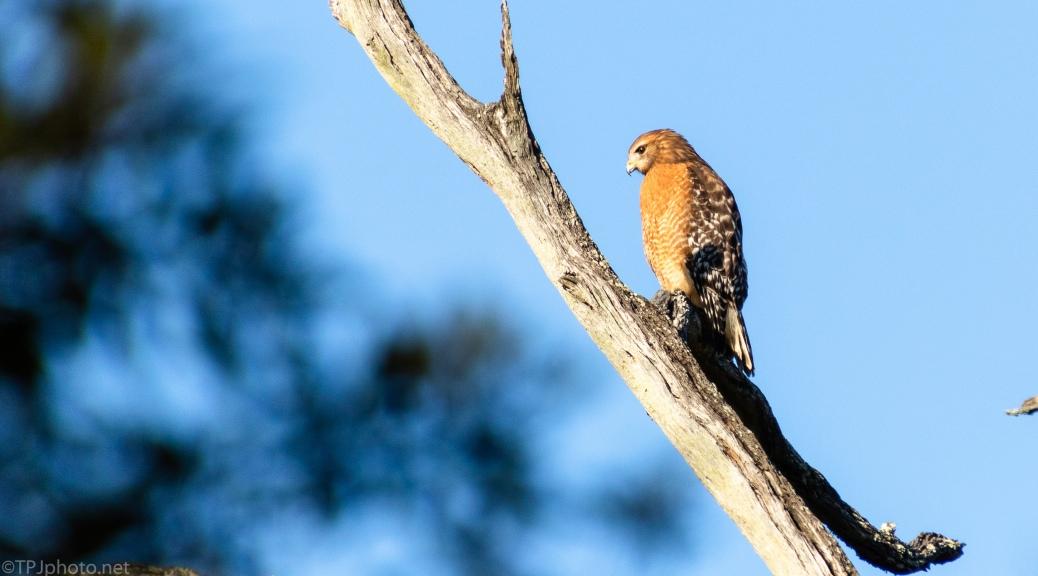 Red-shouldered Hawk - click to enlarge