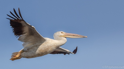 White Pelican Up Close - click to enlarge