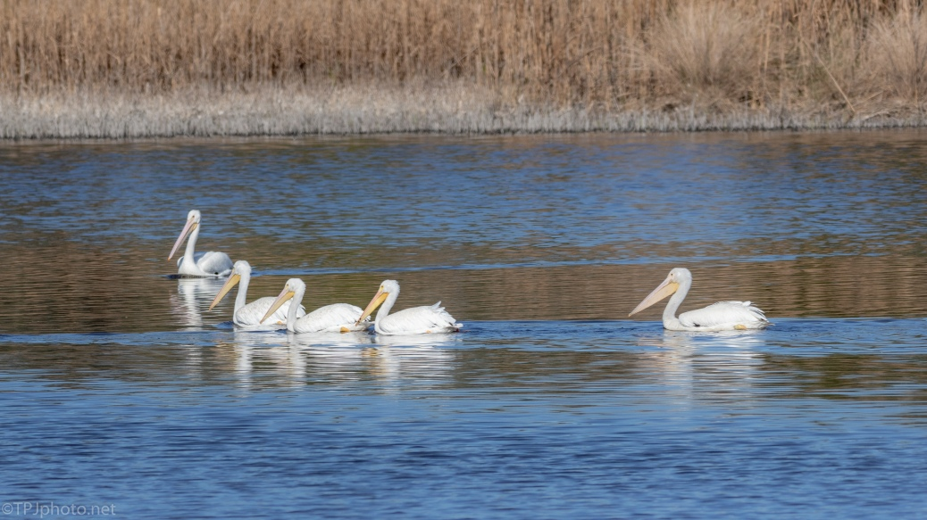 A Few White Pelicans - click to enlarge