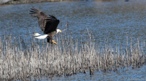 Coming In, It's A Miss, Bald Eagle - click to enlarge