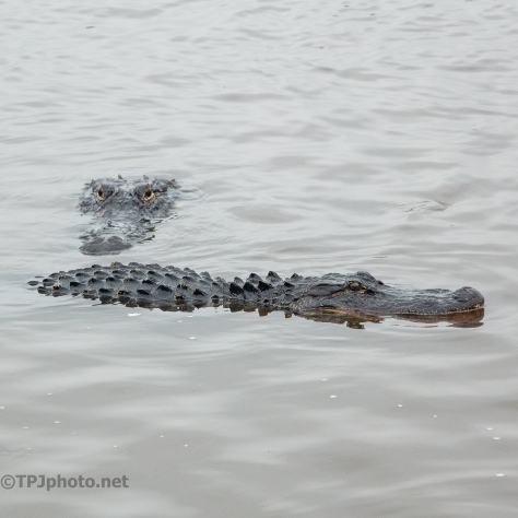 Group Photo, Alligator - click to enlarge
