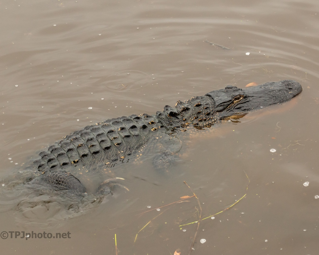 Shallow Water, Alligator - click to enlarge