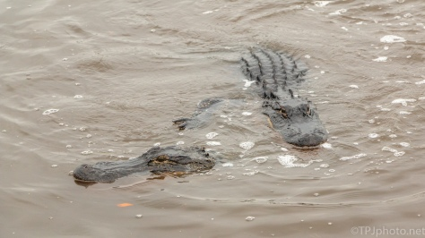 Really Now, What Was He Thinking, Alligator - click to enlarge