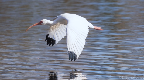 White Ibis, Down Low - click to enlarge
