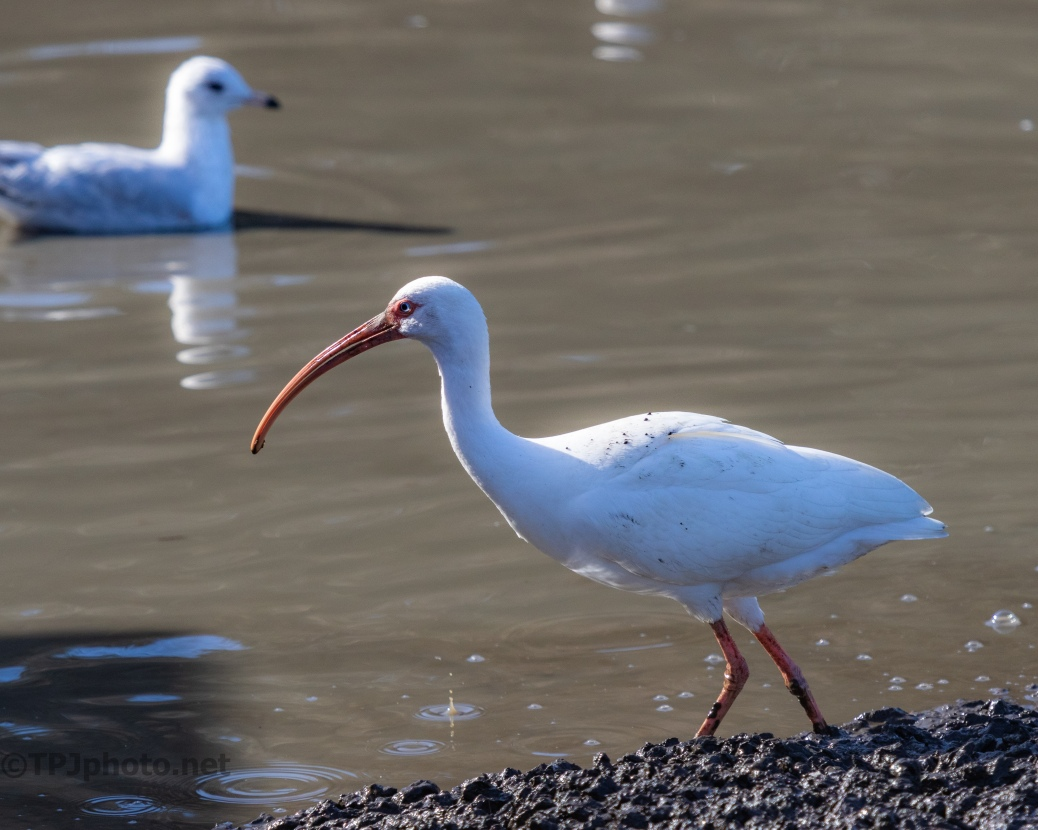 Pluff Mud, Ibis - click to enlarge